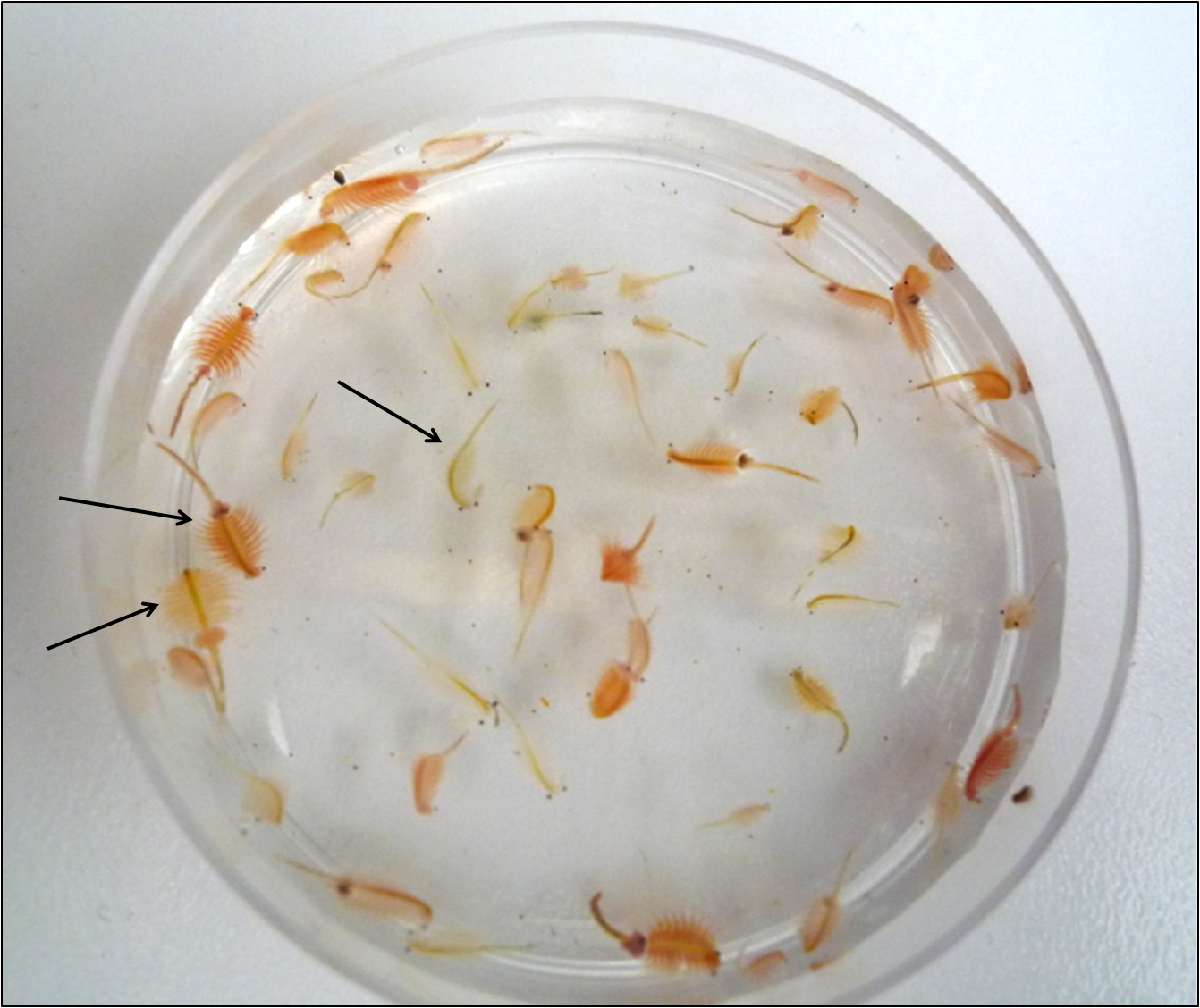 behavior of brine shrimp in habitat selection Ethical issues regarding the use brine shrimps in the experiment: since brine shrimps are living organism, it contributes to ethical issue regarding the usage of any further increase in temperature will halt the hatching of brine shrimp egg cyst as the enzymes in the eggs are temperature-dependent.